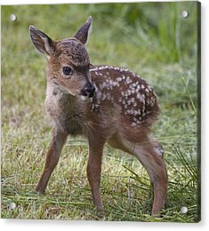 Wee Little Bambi Acrylic Print by Tracey Levine