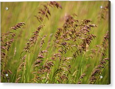 Weeds Blowing In Wind Acrylic Print