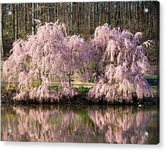 Weeping Cherry Trees Acrylic Print by Jack Nevitt