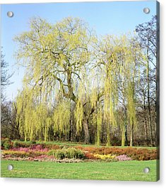 Weeping Willow Tree Acrylic Print by Anthony Cooper/science Photo Library