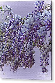 Weeping Wisteria Acrylic Print
