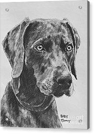 Weimaraner Drawn In Charcoal Acrylic Print