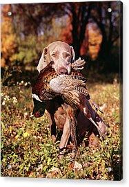 Weimaraner Hunting Dog Retrieving Ring Acrylic Print