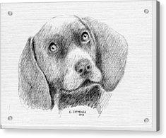 Weimaraner Puppy Acrylic Print
