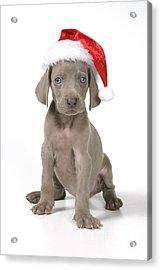 Weimaraner With Christmas Hat Acrylic Print