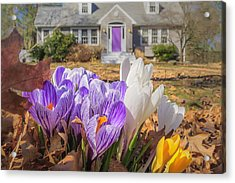 Welcome Mat Of Spring Crocuses Acrylic Print