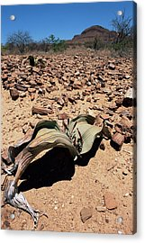 Welwitschia Mirabilis In Petrified Forest Acrylic Print