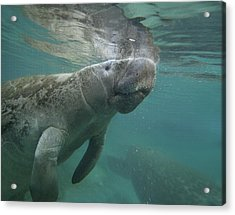 West Indian Manatee Crystal River Acrylic Print by Tim Fitzharris
