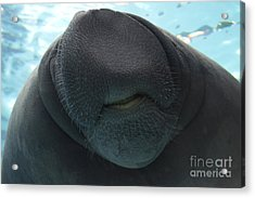 West Indian Manatee Smile Acrylic Print by Meg Rousher