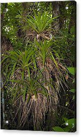 West Indian Tufted Airplants Acrylic Print by Rich Leighton
