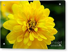 West Virginia Marigold Acrylic Print