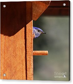Acrylic Print featuring the photograph Western Bluebird At Nest by Bob and Jan Shriner
