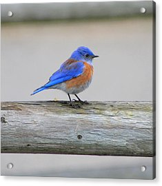 Acrylic Print featuring the photograph Western Bluebird Perching by Bob and Jan Shriner