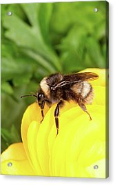 Western Bumble Bee Acrylic Print by Stephen Ausmus/us Department Of Agriculture