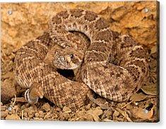 Western Diamondback Rattlesnake. Acrylic Print by John Bell