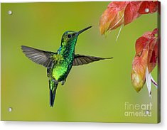 Western Emerald Hummingbird Acrylic Print by Anthony Mercieca