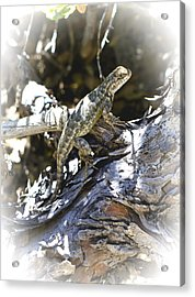 Western Fence Lizard Aka Blue-belly Lizard Acrylic Print