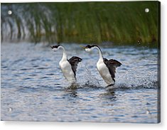 Western Grebe Courtship Display Acrylic Print