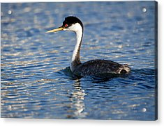 Acrylic Print featuring the photograph Western Grebe by Jack Bell