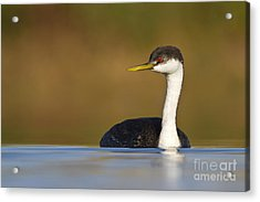 Acrylic Print featuring the photograph Western Grebe On The Lake by Bryan Keil