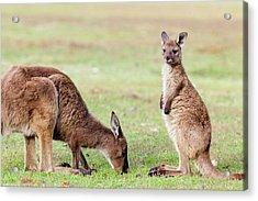Western Grey Kangaroo (macropus Acrylic Print by Martin Zwick