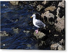 Western Gull On Rocks Acrylic Print