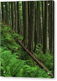 Western Hemlock Trees Grow In Oswald Acrylic Print by Robert L. Potts