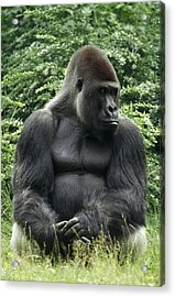 Western Lowland Gorilla Male Acrylic Print