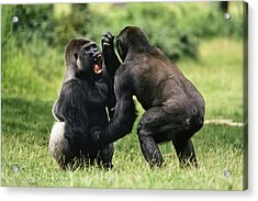 Western Lowland Gorilla Males Fighting Acrylic Print by Konrad Wothe