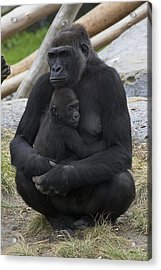 Western Lowland Gorilla Mother And Baby Acrylic Print