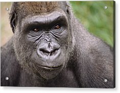 Western Lowland Gorilla Young Male Acrylic Print by Gerry Ellis