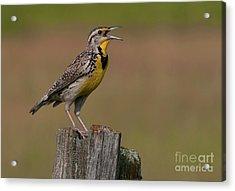 Western Meadowlark.. Acrylic Print