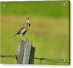 Western Meadowlark Acrylic Print