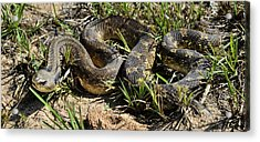 Acrylic Print featuring the photograph Western Plains Hognose Snake by Karen Slagle
