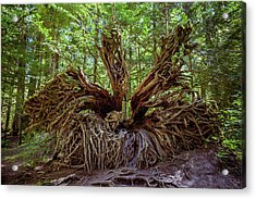 Western Red Cedar Tree Root System Acrylic Print