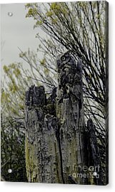 Acrylic Print featuring the photograph Western Screech Owl by Catherine Fenner