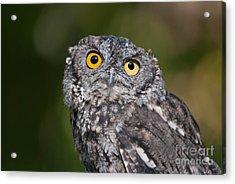 Western Screech Owl No. 3 Acrylic Print