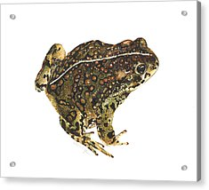 Western Toad Acrylic Print by Cindy Hitchcock