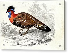 Western Tragopan Acrylic Print by Collection Abecasis