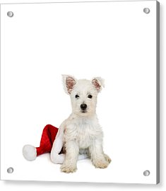Westie Puppy And Santa Hat Acrylic Print by Natalie Kinnear