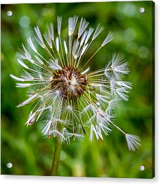 Acrylic Print featuring the photograph Wet Dandelion. by Gary Gillette