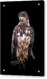 Wet Feathers Acrylic Print