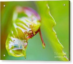 Wet Grape Leaf  Acrylic Print
