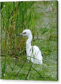 Wet Juvenile Little Blue Heron Acrylic Print