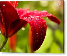 Wet Lily Acrylic Print