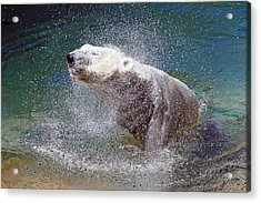 Wet Polar Bear Acrylic Print