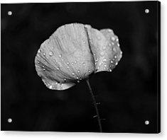 Wet Poppy  Acrylic Print