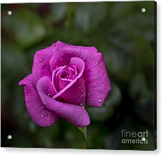 Wet Rose Acrylic Print by Michael Waters