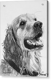Wet Smiling Golden Retriever Shane Acrylic Print