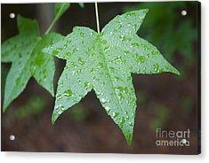 Wet Sweetgum Leaf Acrylic Print by Jonathan Welch